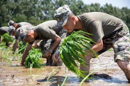 """某合成旅防化连派出一支30人组成的""""抢种突击队""""帮助困难群众抢种晚稻。"""