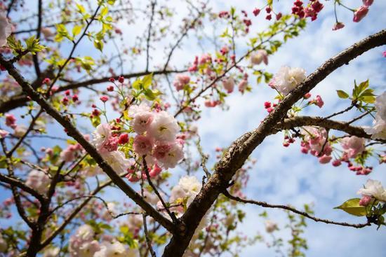 3月31日 篁岭樱花实景