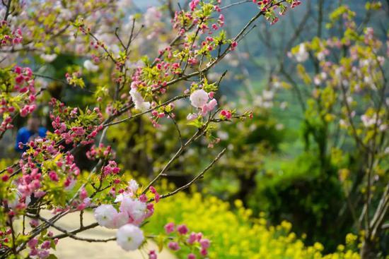 沿着樱花小道走过,便能看到被掩映的村子,安静得就像是世外桃源一般。