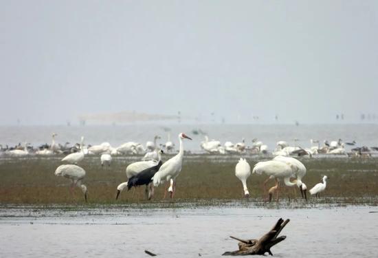 白鹤、白头鹤  摄影:高翔
