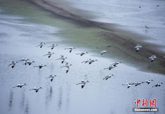 资料图,一群候鸟在江西鄱阳湖都昌马影湖水域飞舞。中新社发 ?#21040;?#25996; 摄