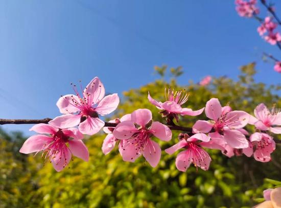上犹县油石乡双色桃花开满树,簇簇娇嫩的鲜花挂满枝头,充满生机。(郭宝香摄)