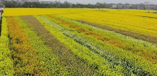 江西农大培育出45种颜色油菜花 希望带动旅游产业发展