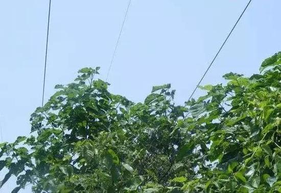 如果树木种植在高压线的保护区内,由于其自身具有传输电流的功能,一旦树木自然生长接近高压线临界距离,线路将对树木放电。