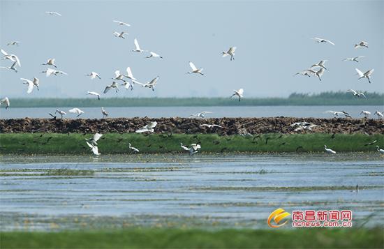 百余只白琵鹭飞抵南矶湿地