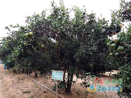 嫁接后的果树-一棵树结14种果实 南昌县一老人种出 神奇果树