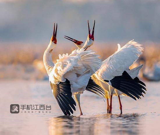"""""""先头部队""""提前11天到达!鄱阳湖候鸟越冬序幕拉开"""