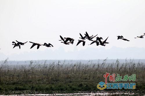 大批雁鸭飞抵鄱阳湖。图/江南都市报全媒体记者石鹏