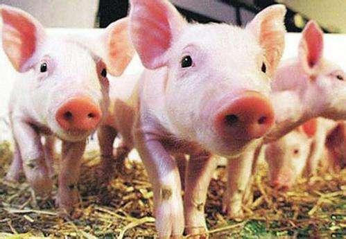 江西排查出一起非洲猪瘟疫情 发病10头死亡10头