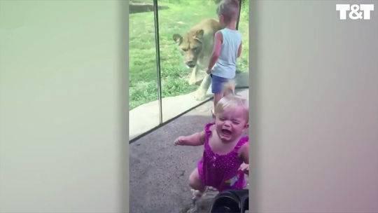 惊险!狮子突然飞扑过来 小女孩隔着玻璃墙被吓哭