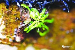 上饶德兴发现国保级野生植物湿唇兰和带叶兰(图)