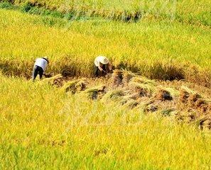 江西早稻最低收购价执行时间为8月1日至9月30日