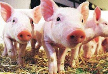 易炼红:做好非洲猪瘟防控 确保不再发生新的疫情