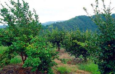 江西油茶种植面积达千余万亩 产值居全国第二