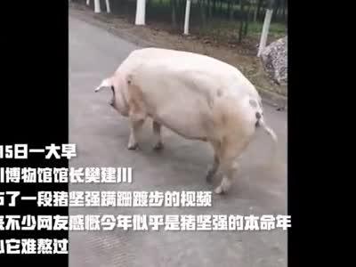 """还记得""""猪坚强""""吗? 12岁了!相当于人类的90多岁"""