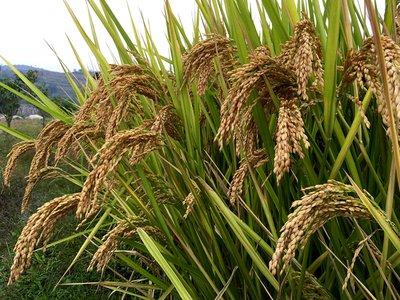 28个?#20998;?#36890;过2018年全国海水稻区域试验