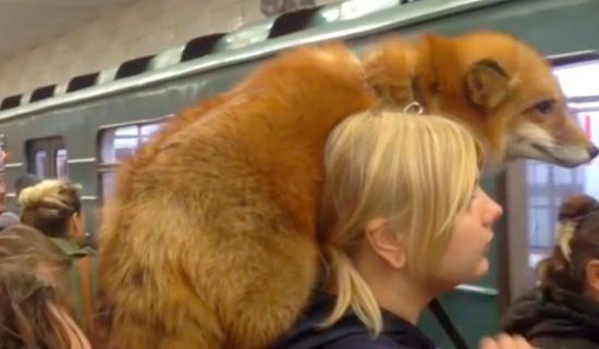 爱皮草又不忍杀生? 俄罗斯女子肩扛狐狸搭地铁