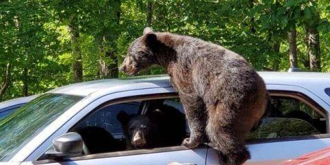 男子遭遇野生棕熊 三只幼熊爬到车里窜上蹿下