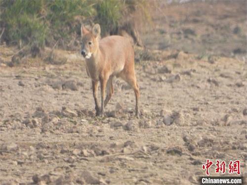 12月11日,江西鄱阳湖国家级自然保护区大汊湖站工作人员监测到一只国家二级保护动物河麂。 林发荣 摄