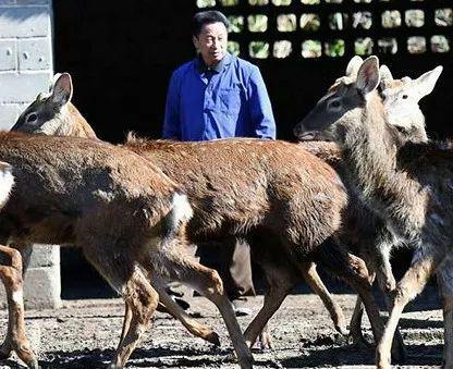 梅花鹿人工养殖场