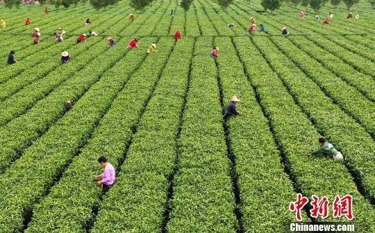 图为江西省吉安市吉水县丁江镇塘边村白茶基地。(资料图) 郭弘毅 摄
