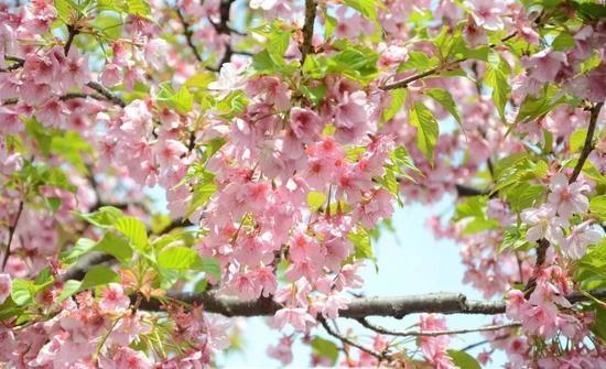 4月1日 篁岭樱花实景