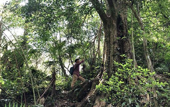 永丰县千年红豆杉树王,曾险些被盗伐。经初步测量,周围3.7米,胸径100多公分,树高超过30米。 本文图均为澎湃新闻记者 王乐 图