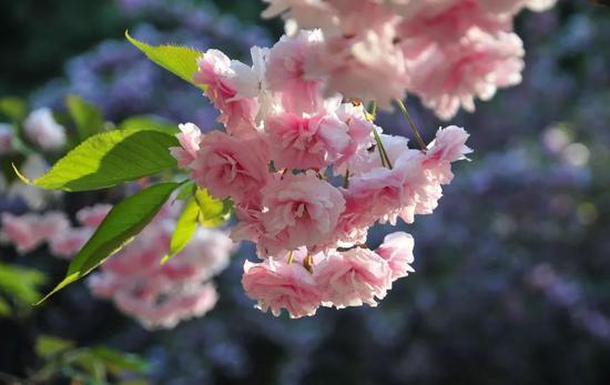 篁岭的樱花美在肆意,连绵的樱花长廊,总能让你在不经意间看到她的倩影。