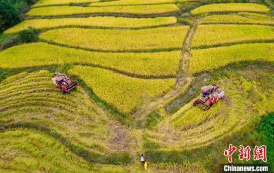 图为江西新余钤阳办事处柏树下村晚稻收割现场,农民赶在近期气温骤降前抢收水稻,确保颗粒归仓。 赵春亮 摄