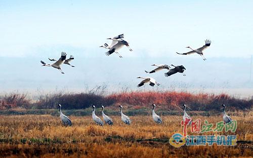 鄱阳湖越冬候鸟。 图/江南都市报全媒体记者许南平