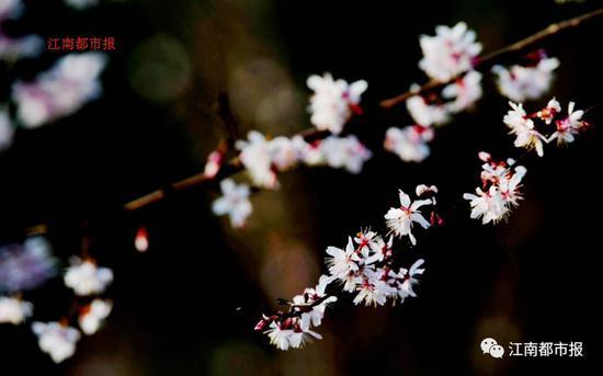 春天的凤凰沟还有海棠、油菜花、玉兰等,美如画卷!