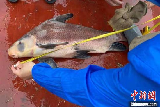 5月16日,江西省水产科学研究所在长江湖口水域科研监测时,监测捕获一条系胭脂鱼。 江西省农业农村厅禁捕办供图