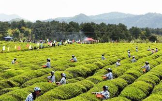 江西德兴:春雨催新芽 丘陵忙采茶