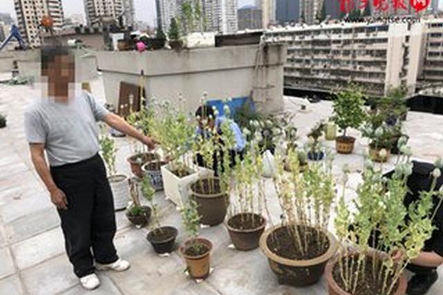 男子楼顶种125株罂粟 以为是调料种子