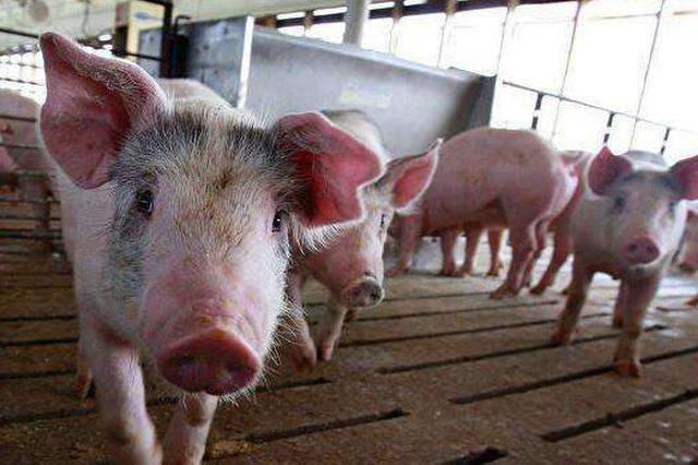 乐安近期出现生猪染病死亡情况!食用猪肉安全吗?