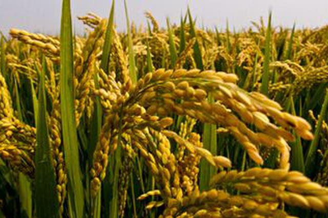 江西启动早籼稻最低收购价收购 每百斤120元
