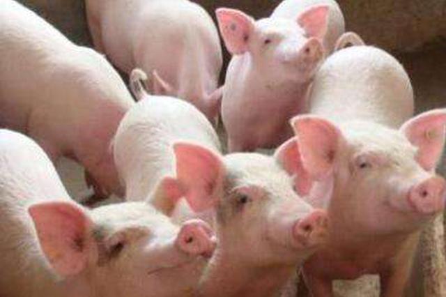 生猪出栏量大减产能难恢复 猪价短期或再涨