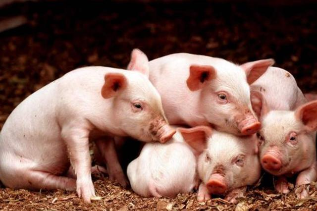 前10月净调出量923万头 江西保障生猪市场稳定