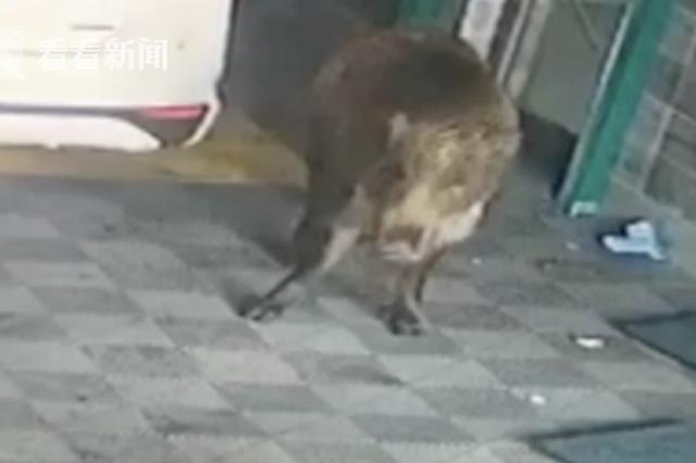 200斤野猪闯入闹市撒野 大叔灵巧一闪躲过一劫
