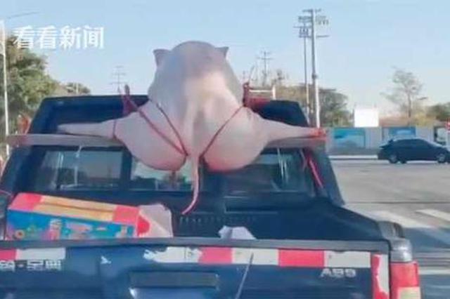 """""""二师兄""""劈叉被绑皮卡车顶 警方:有点违规"""