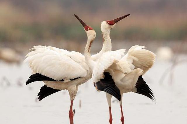 56万余只候鸟中国最大淡水湖鄱阳湖越冬(图)