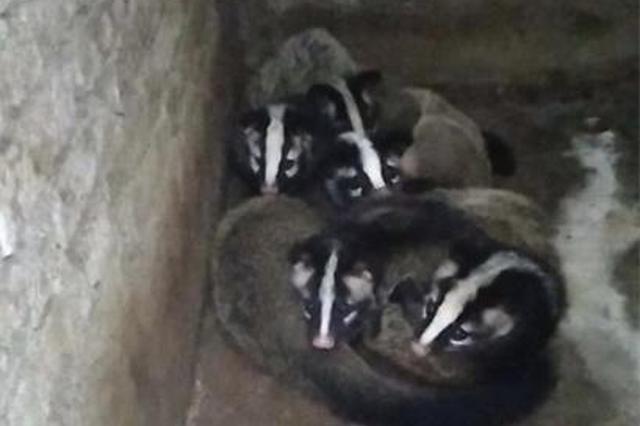 铜鼓养殖户放归540只果子狸 专家:需进行长期生态监测