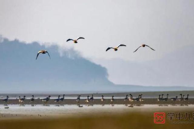 湖口:鄱阳湖湿地成候鸟乐园(组图)