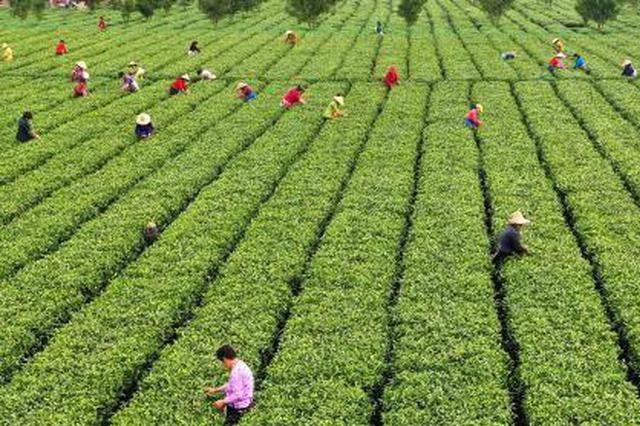 """剑指""""天价茶"""" 江西开展茶叶市场价格行为专项整治"""