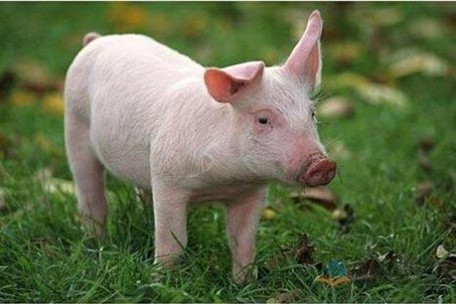 江西生豬生產恢復到非洲豬瘟疫情前水平