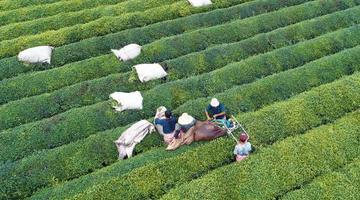航拍江西泰和夏茶开采 茶园利用机器采茶