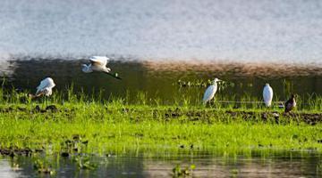 """江西新余:城市湿地公园成""""鹭鸟王国"""""""