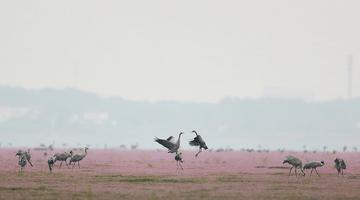 蓼子花开鄱阳湖畔 候鸟归来舞姿翩跹