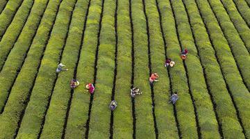 江西新余:6000亩春茶园开园采摘