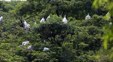 南昌:30余万羽候鸟筑巢育雏